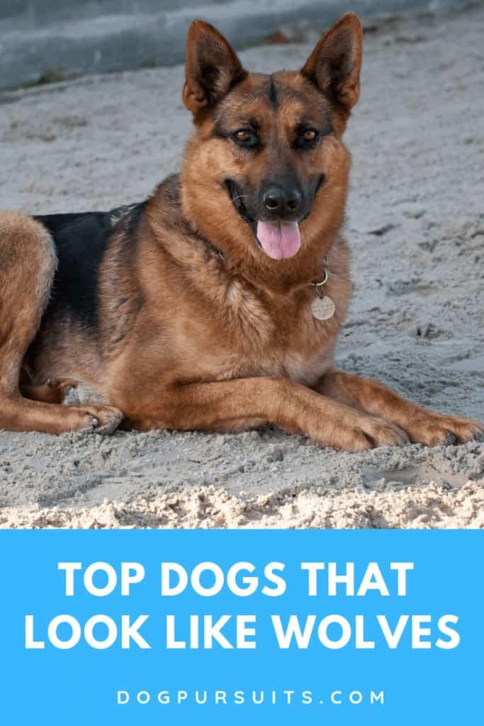 German Shepherd is one of the top dog that look like wolf