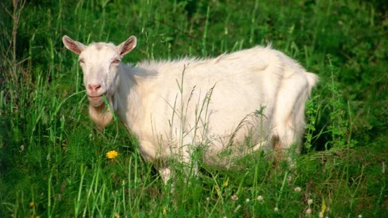 Benefits of Raw Goats Milk for Dogs