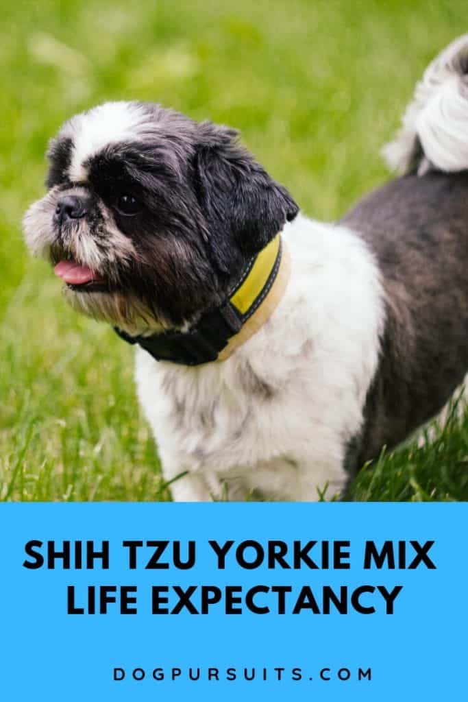 What is the Shih Tzu Yorkie Mix Life Expectancy