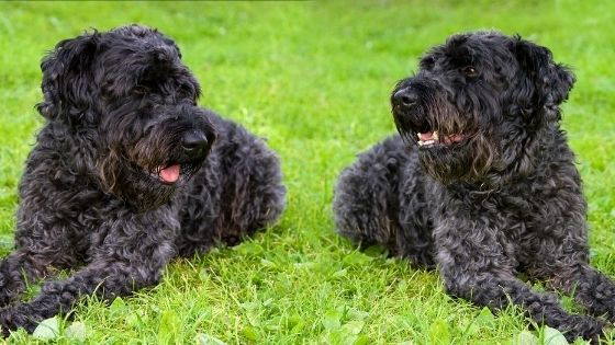 Kerry Blue Terrier Breed
