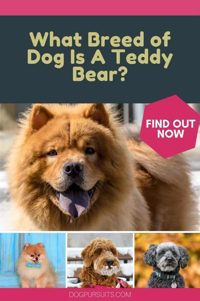 What Breed of Dog Is A Teddy Bear Facts