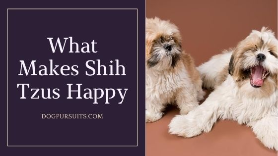What Makes Shih Tzus Happy Guide